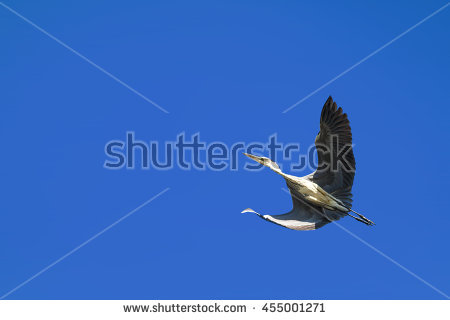 Flying Heron Stock Photos, Royalty.