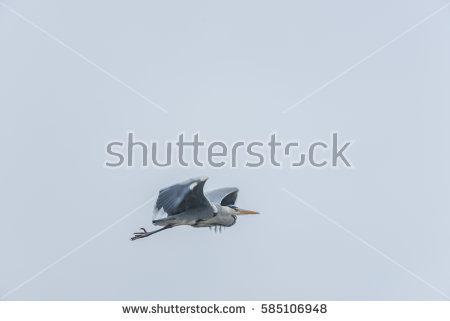 Heron In Flight Stock Photos, Royalty.