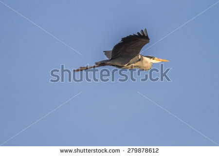 Grey Heron Photo Stock Photos, Royalty.