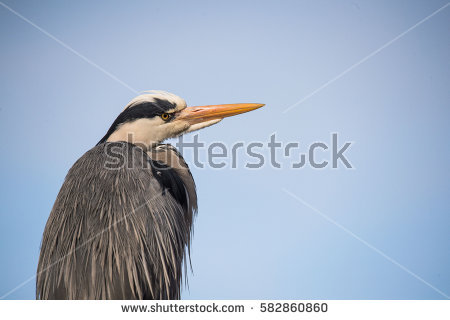 African Heron Stock Photos, Royalty.