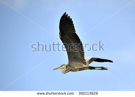 Common Grey Heron Stock Photos, Royalty.