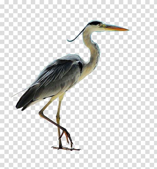 Grey heron Seabird, Bird transparent background PNG clipart.