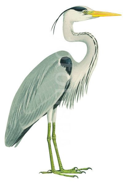 heron illustration.