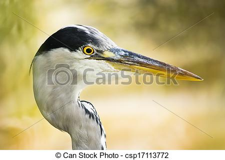 Picture of Grey heron head in side angle view with just swallowed.