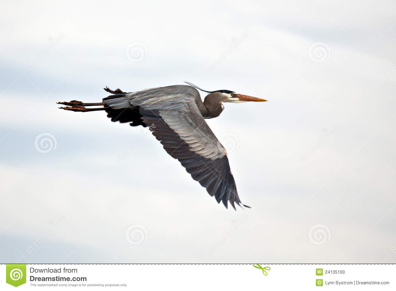 Great Blue Heron In Flight Royalty Free Stock Photos.