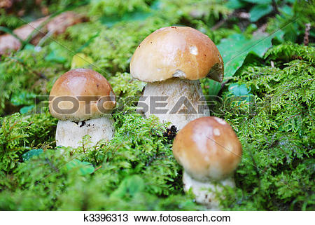 Stock Photo of king bolete mushroom k3396313.