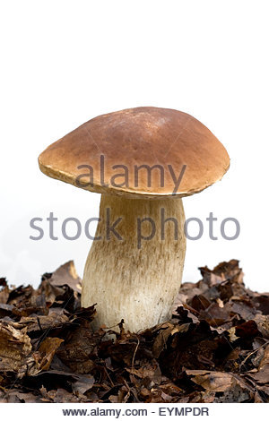 Edulis Stock Photos & Edulis Stock Images.