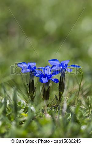 Stock Foto van alpen, Duitser, lente, Gentiana, gentiaan, verna.