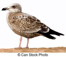 Herring gull Illustrations and Clip Art. 29 Herring gull royalty.