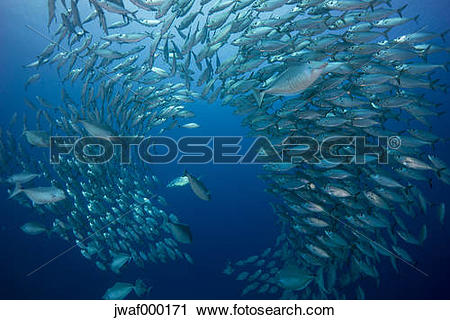 Stock Photography of Oceania, Palau, Oxeye Scads, Selar boops.