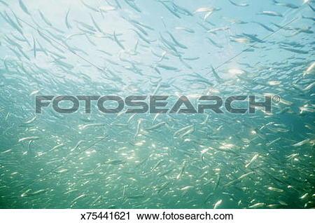 Stock Photography of HERRING SHOAL UNDERWATER VIEW x75441621.