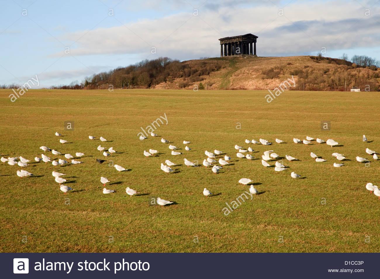 Flock Of Gulls Penshaw Monument From Herrington Country Park Stock.