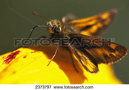 Picture of A Skipper Butterfly (Hesperiidae) Visits A Flower.