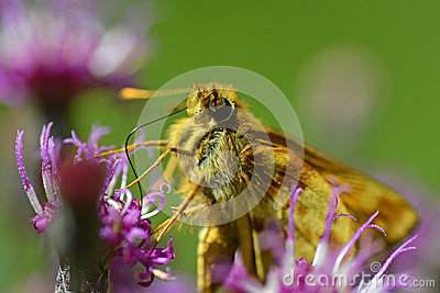 Skipper (Hesperiidae) Butterfly Royalty Free Stock Image.