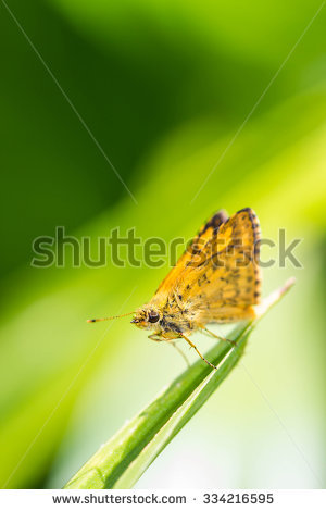 The Indian Fritillary Stock Photos, Images, & Pictures.
