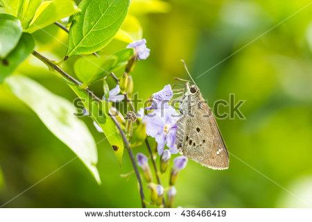 Hesperiidae Stock Images, Royalty.