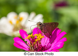 Stock Photos of borbo cinnara (Hesperiidae) Butterfly 0n flower.