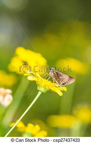 Stock Photos of borbo cinnara (Hesperiidae) Butterfly 0n flower.
