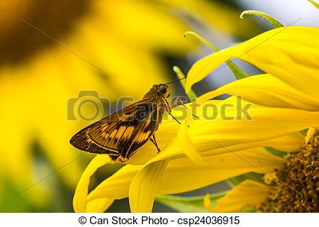 Stock Photography of Bush Hopper Butterfly (Hesperiidae: Ampittia.