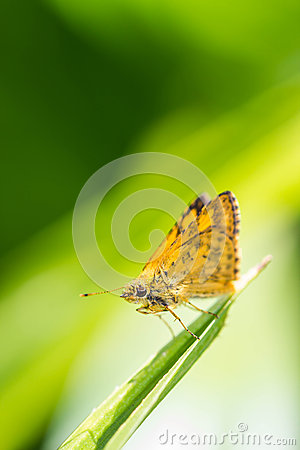 Hesperiidae Stock Photo.