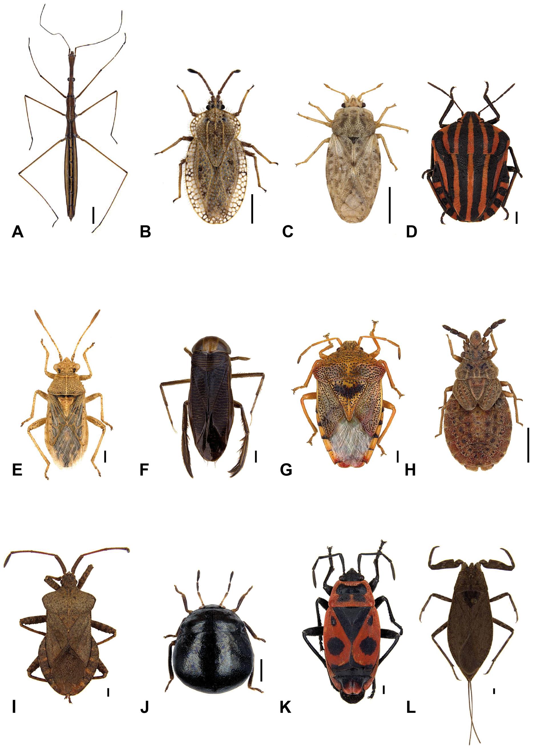 File:Heteroptera of Germany 1.png.
