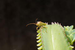 Heteroptera Royalty Free Stock Images.