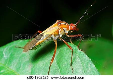 Stock Image of Seed bug Lygaeidae, Heteroptera, Hemiptera 2012 u50.