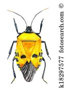Heteroptera Illustrations and Clipart. 3 heteroptera royalty free.