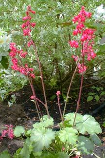 Paghat's Garden: Heuchera x brizoides 'Firefly'.