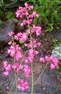 Paghat's Garden: Heuchera x brizoides 'Bressingham Pink'.