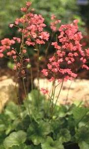 Coral Bells: Heuchera x brizoides 'Bressingham Hybrids'.