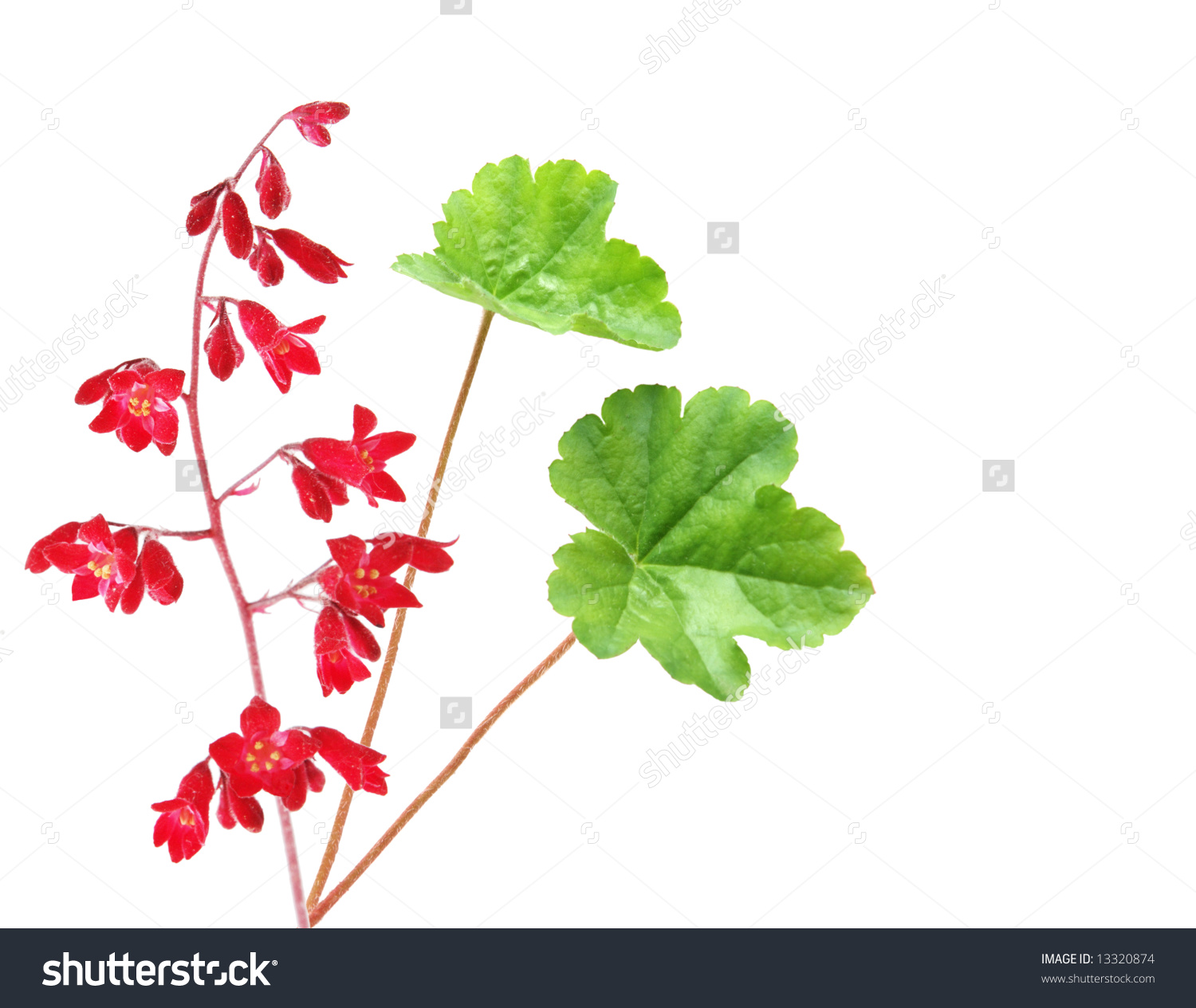 Heuchera Coral Bells Flowers Cluster And Leaves, Isolated On White.