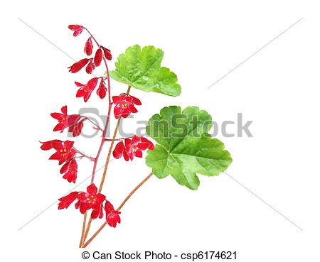 Stock Photography of Heuchera Coral Bell flower isolated on white.
