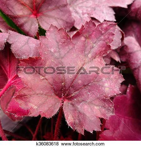 Pictures of Heuchera Foliage k36083618.