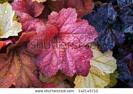 Heuchera Stock Images, Royalty.