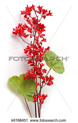 Stock Photography of Heuchera coral bell flowers k6168451.