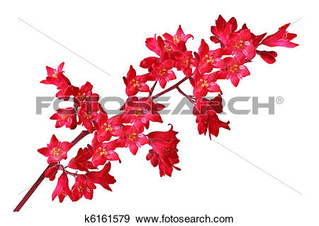 Stock Photograph of Heuchera Sanguinea k6161579.