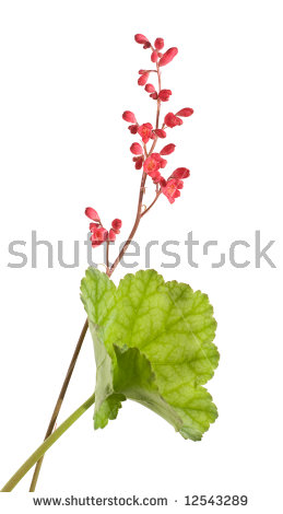 Coral Bells Stock Images, Royalty.