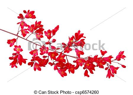 Stock Photography of Heuchera Red Bell.