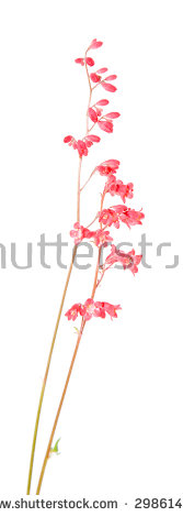Coral Flowers Stock Photos, Royalty.