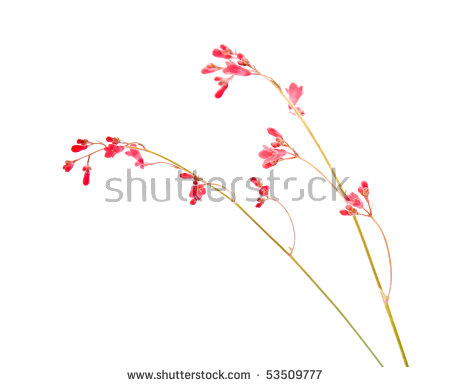 Coral Bells Stock Photos, Royalty.