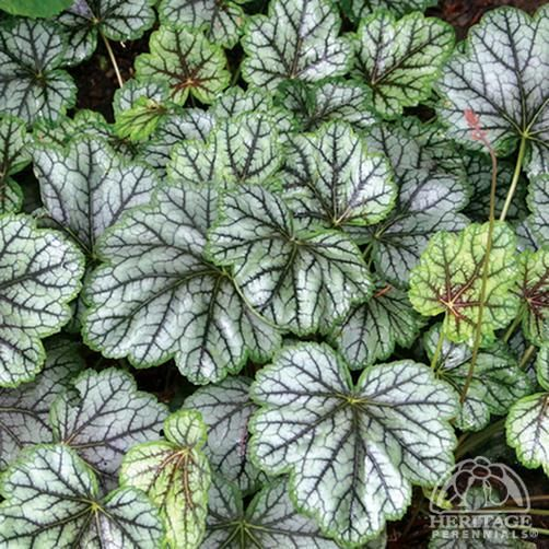 Heuchera 'Green Spice'.