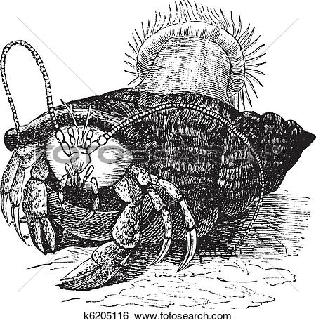 Clip Art of Hermit crab dragging Sea anemones, vintage engraving.