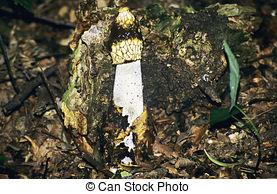 Stock Images of Phallus impudicus.