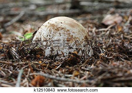 Stock Photo of Phallus impudicus.