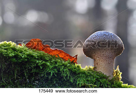 Stock Photograph of Common Puffball (Lycoperdon perlatum), fruit.