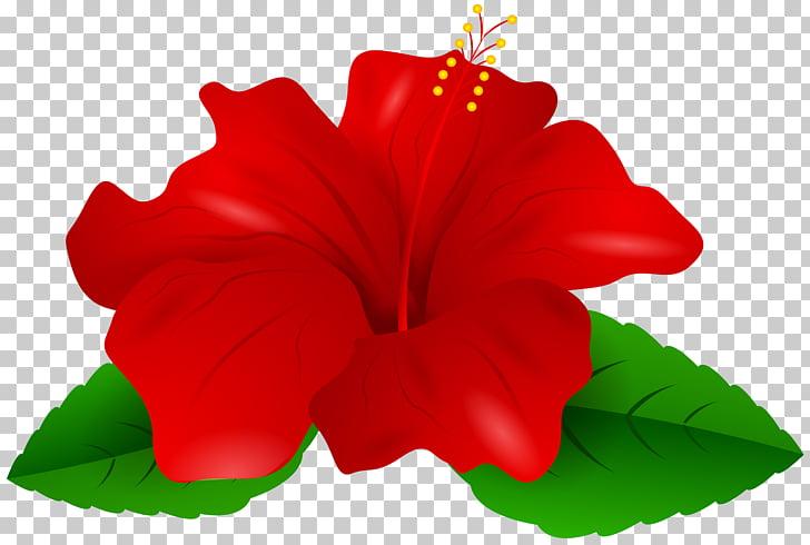 Shoeblackplant Red , Red Hibiscus Transparent , red hibiscus.
