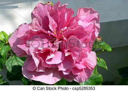Stock Photos of Double Pink Hibiscus Flower csp5285353.