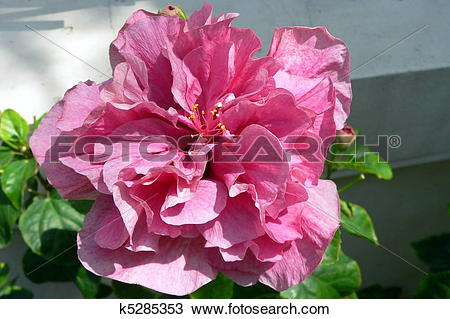 Stock Photo of Double Pink Hibiscus Flower k5285353.