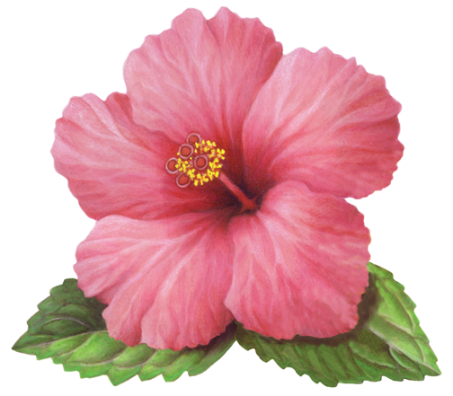 Download Free png Single pink hibiscus flower w.